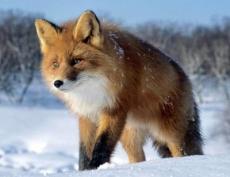 Бешеная лисица укусила жителя Горномарийского района